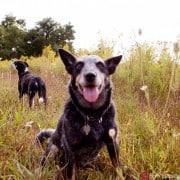 A farm dog poses for the camera, by New Jersey wedding photographer Kyo Morishima