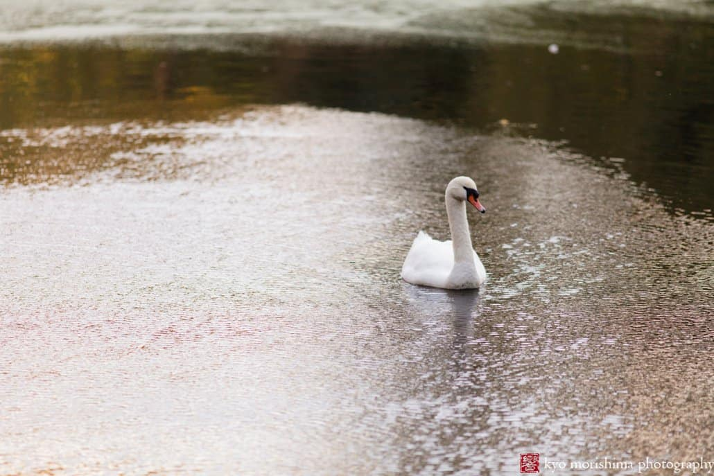 A swan glides over the lake in Prospect Park, photographed in October by Brooklyn photographer Kyo Morishima