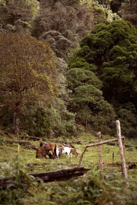Horses grazing in a field, old wooden fence, thick forest background, Costa Rican destination wedding photographer