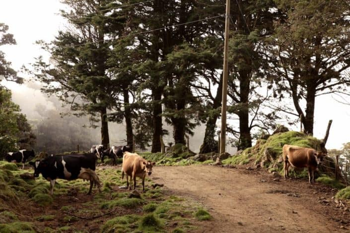 Grazing cows along a dirt path on a cloud covered mountaintop in San Gerardo de Dota at Costa Rican destination wedding.