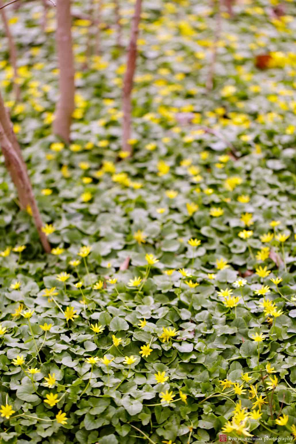Beautiful ground cover foliage with tiny yellow flowers at lsborough nj spring engagement photo shoot mightylinksfo